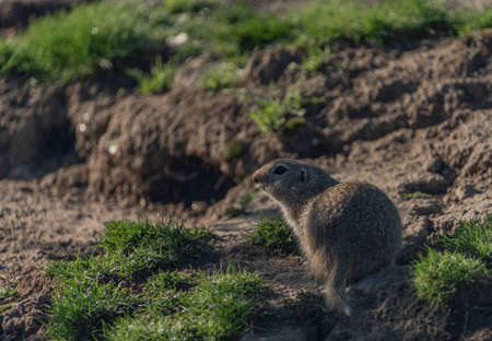 Ground squirrel animal in summer sunny hot morning in grass
