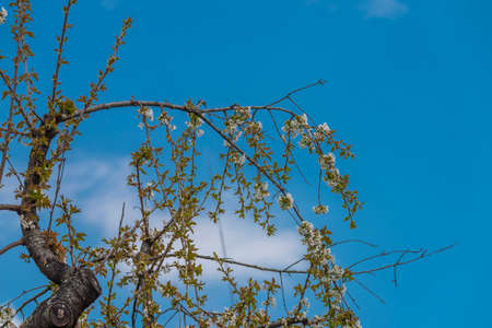Blackbird singing on cherry tree branch with white bloom in fresh spring sunny day 免版税图像