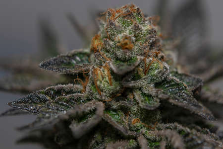 French cookies variety of medical marijuana with color indoor background