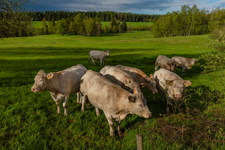 White cows with golden suit on green pasture land near Nejdek town in Krusne mountains Reklamní fotografie