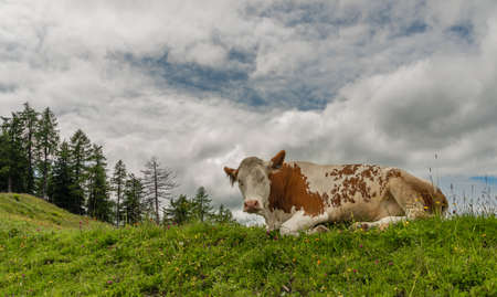 Red cow lying in big Austria mountains on green fresh summer meadow