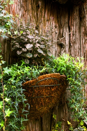 species of creeper: Hanging ivy plants in a basket with a textured wood background