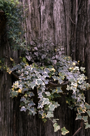 species of creeper: Hanging ivy plants in a basket in a textured wood background