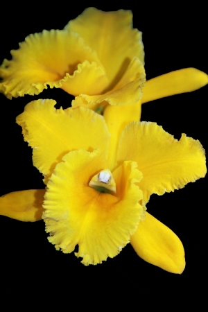 Bright yellow Cattleya over a black background