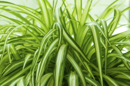 houseplant: Close up of a Spider Plants   Chlorophytum comosum  with green and white leaves  It is a flowering perennial herb and a houseplant
