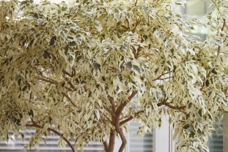 predominant: beautiful tree-like shrubs with predominant white leaves use in landscaping