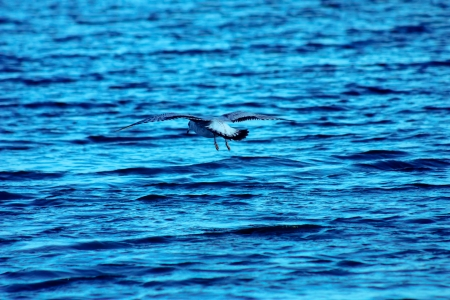 Seagull flying over the blue lake photo