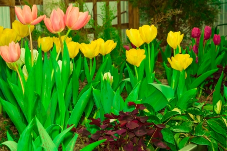 botanica: Bright and colorful Tulips in the garden, signs of spring