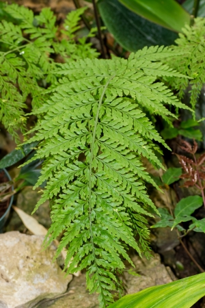 habitats: Ferns are vascular plants which live in a wide variety of habitats; from remote mountain elevations   to dry desert rock face, bodies of water and open fields