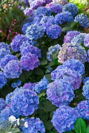 Hydrangea flowers in different shades of blue in the garden
