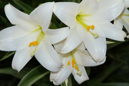 Madonna lillies or Lilium candidum emerges in late spring and bears fragrant flowers in summer