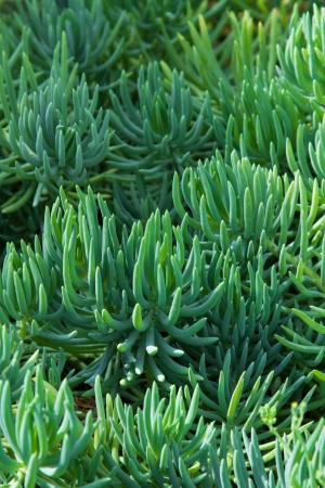 charnu: Plantes succulentes ou plantes succulentes sont des plantes qui ont des feuilles �paisses et charnues, des racines ou des tiges qui ont des tissus de stockage de l'eau et vient habituellement dans les zones arides ou tropicales