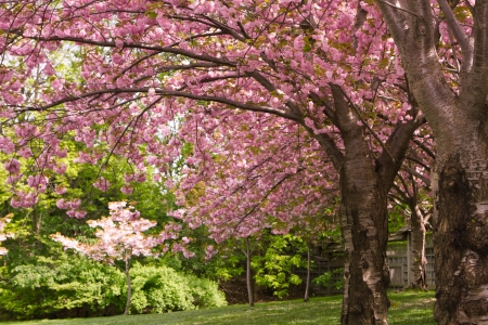 Pink cherry blossom trees in a Japanese garden