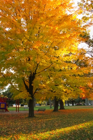yellows: Autumn foliage of bright orange and yellows in a park with warm colored leaves that covers the ground Stock Photo