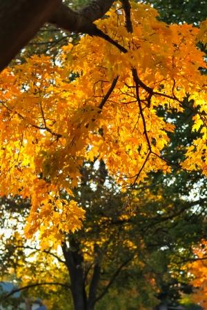 yellows: Autumn foliage of vibrant sunset colors of orange and yellows Stock Photo