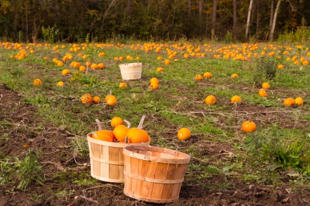pumpkin patch: Small pumpkins in a farm for Fall harvest Stock Photo