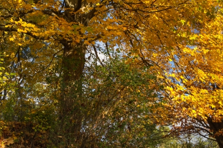 yellows: Colorful landscape from Autumn foliage of vibrant yellows and orange Stock Photo