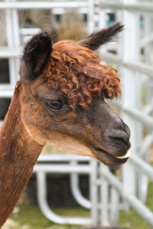 Headshot of a brown Alpaca  Vicugna pacos  photo