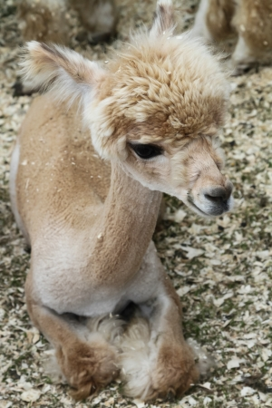White Cria  Young Alpaca  photo