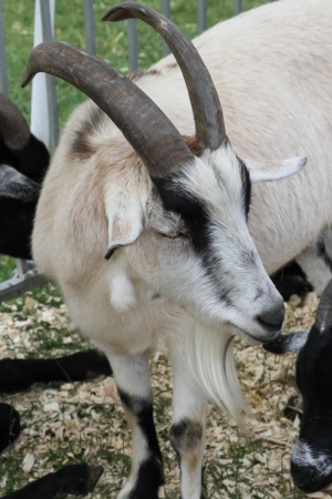 pygmy goat: African Pygmy Goat- A pygmy goat is a breed of miniature domestic goat