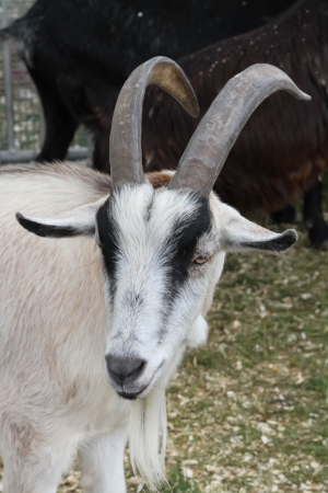 pygmy goat: African Pygmy Goat- A pygmy goat is a breed of miniature domestic goat