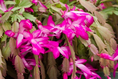 Pink Christmas cactus or Holiday cactus