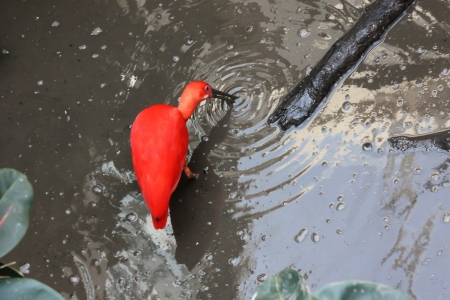 inhabits: Scarlet Ibis is a species of ibis in the bird family Threskiornithidae  It inhabits South American and island of the Caribbean  Stock Photo