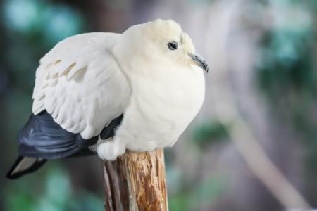 srokaty: Pied Imperial Pigeon jest stosunkowo duża, pied gatunki gołębi
