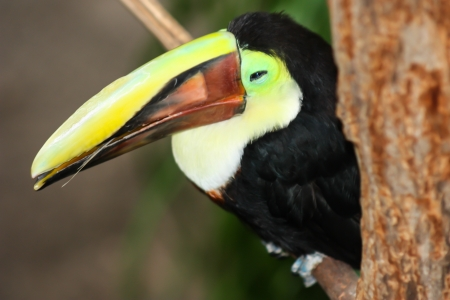Toucan  Ramphastos toco  sitting on tree branch  photo