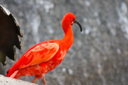 wingtips: Scarlet Ibis bird