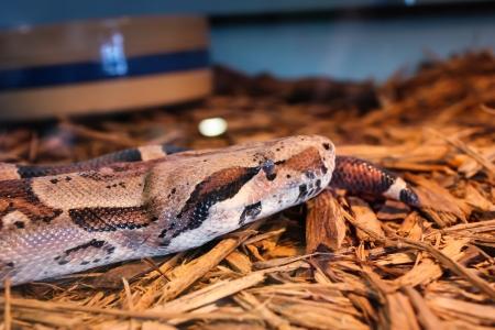 Ball Python  It is a nonvenomous python species found in Africa  Reklamní fotografie