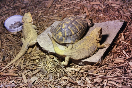 long and short scales: Green Iguanas and a Turtle  Stock Photo