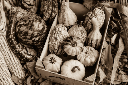 sepia toned: Sepia toned Autumn corn with husks and gourds Stock Photo