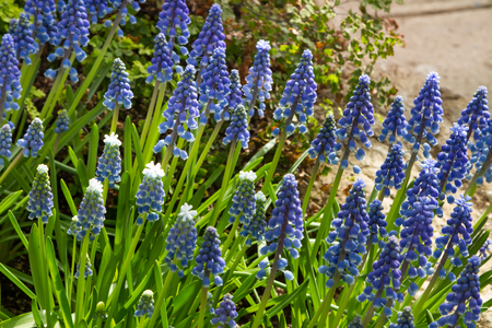 sepals: Beautiful blue flowers in the garden Stock Photo