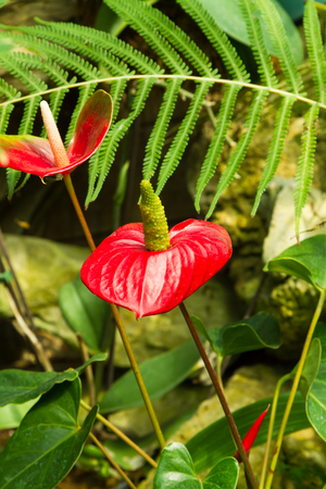 Anthuriums also called tail flower, flamingo flower or laceleaf are species of flowering plants with tail-like flower spikes and heart-shaped leaves Stockfoto