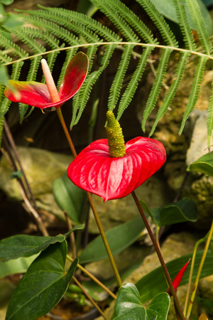 plants species: Anthuriums also called tail flower, flamingo flower or laceleaf are species of flowering plants with tail-like flower spikes and heart-shaped leaves Archivio Fotografico