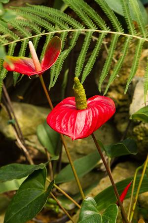 plants species: Anthuriums chiamato anche fiore coda, fiori fenicottero o laceleaf sono specie di piante da fiore con spighe di fiori di coda-simili e le foglie a forma di cuore