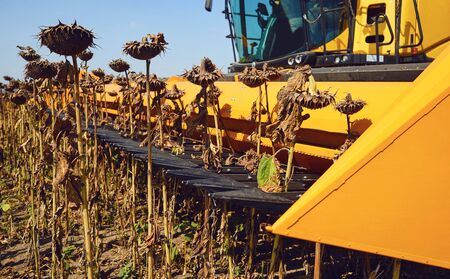 Harvester sunflower. Harvesting sunflower in a field by a combine harvester in the fall.