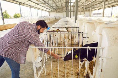 Young male farmer wants to pet a timid calf standing in a cage in a huge barn on a livestock farm in the countryside. Concept of agriculture, farming, people and livestock.