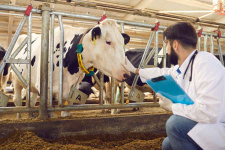 Young man farmer or veterinarian in uniform and protective gloves sitting and touching cows nose during checking in stall on animal farm. Agriculture and cow farm concept