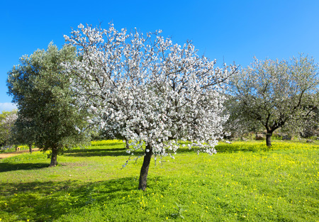 almond tree: Almond tree at spring, fresh pink flowers on the branch of fruit tree