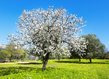 Amandel boom in de lente, verse roze bloemen op de tak van fruit boom Stockfoto