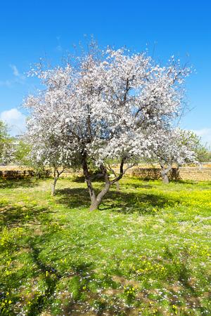 Mandorlo a primavera, fiori freschi rosa sul ramo di albero da frutto