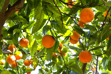 Orange trees in a citrus grove in Sicily Stock Photo