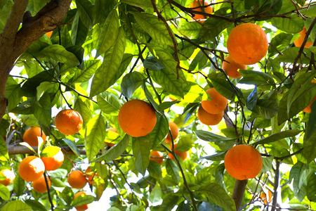 Orange trees in a citrus grove in Sicily Imagens