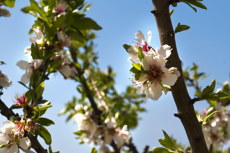 Cluster of almond blossoms in full bloom photo
