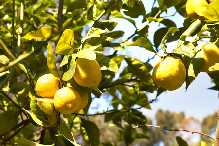 Lemon trees in a citrus grove in Sicily photo