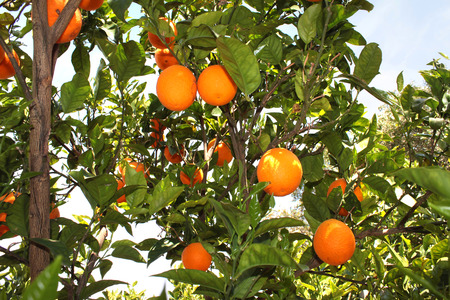 Orange trees in a citrus grove in Sicily photo
