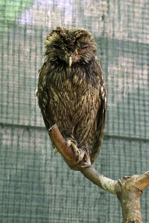 Portrait of a Tawny Owl in a zoo photo