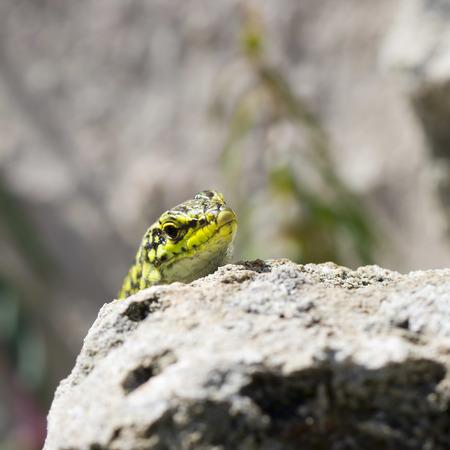 natural selection: Lizard sunbathing on the rocks